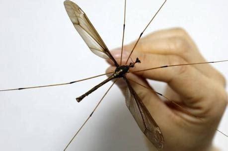 Mosquito Gigante ¡Todo lo que necesitabas saber!