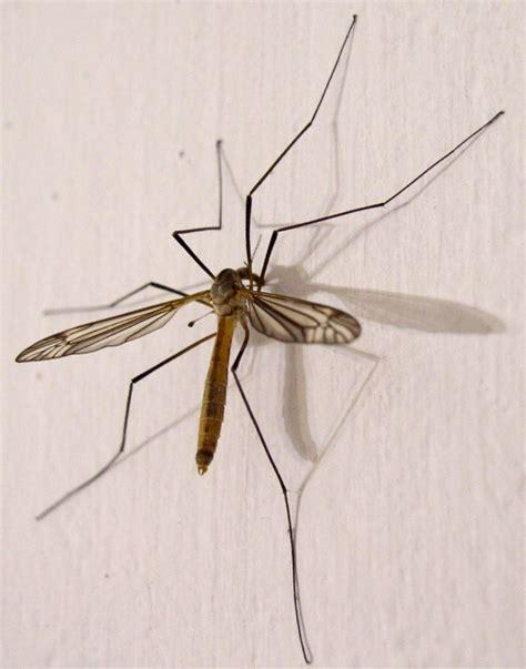 Mosquito patas largas ¡Todo lo que necesitabas saber! 【2021】