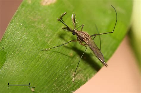 Mosquito Species by genus   Repelling Mosquitoes