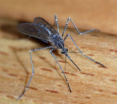 Mosquito   Wikipedia