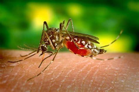 Mosquitos   Control de Plagas
