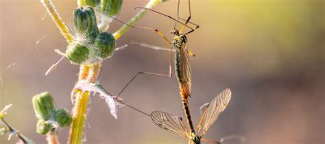 Mosquitos gigantes o típulas: Mosquitos de largas patas