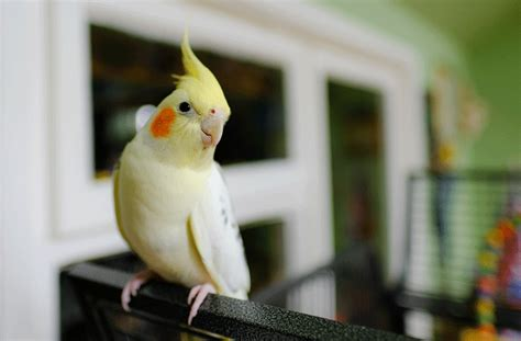 Most Popular Pet Birds | petMD
