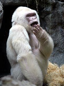 Muere  Copito de Nieve , el único gorila albino | Sociedad ...