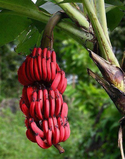 Musa acuminata  Red Dacca  : Red bananas | All about plant