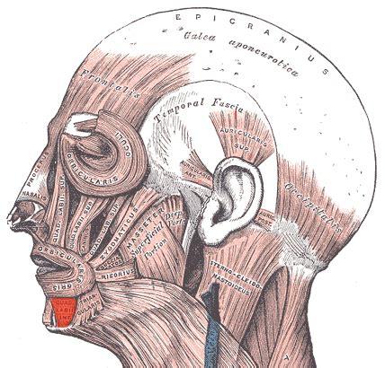 Músculo depresor del labio inferior   Wikiwand