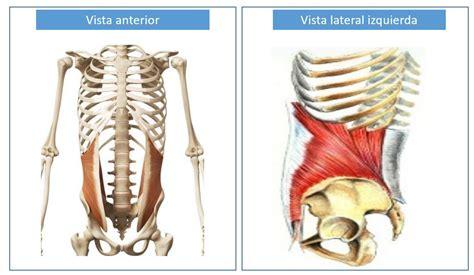 Músculo oblicuo interno del abdomen   Dolopedia