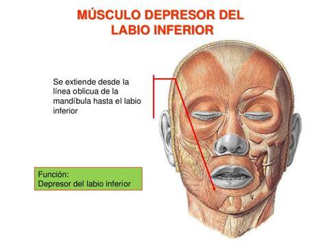 Músculos de la expresión facial.
