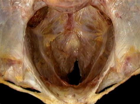 Músculos del diafragma pélvico observados superior y ...