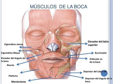 Músculos superficiales y Profundos de la cara