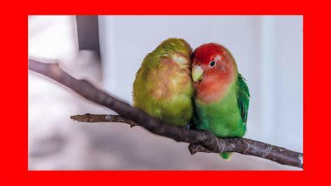 Musica relajante para pájaros, loros, periquitos, cacatuas ...