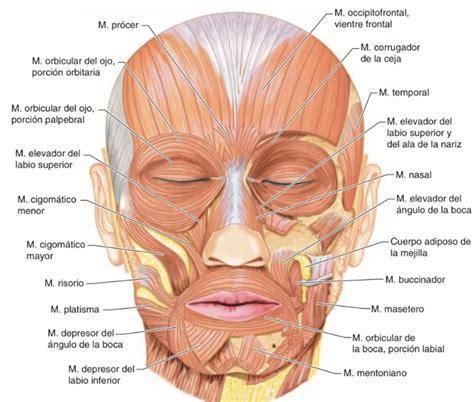 Músculos periorificiales de la boca