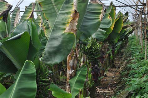 Muz   Tropikal Meyveler