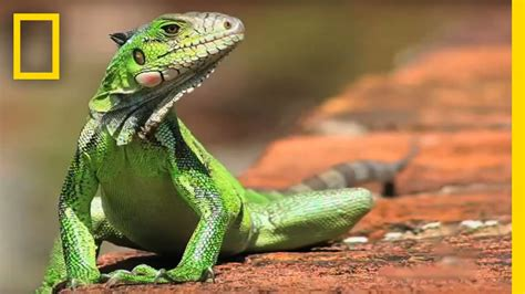MY SHOT Minute   Reptiles | National Geographic   YouTube