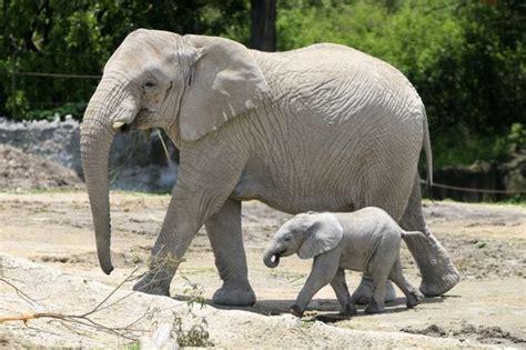 Nace cría de elefante en Africam Safari