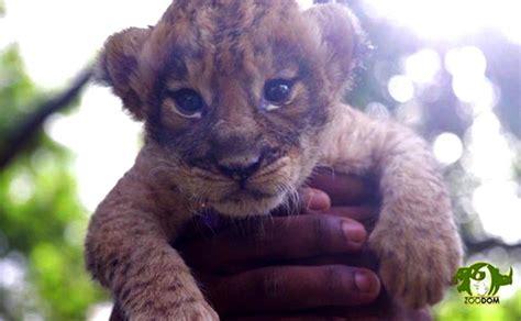 Nace nueva bebé león en Parque Zoológico Nacional ...