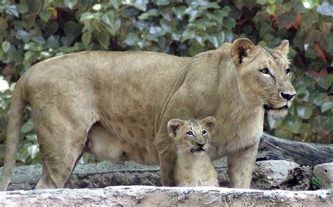 Nace un león en el Zoo de Barcelona