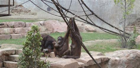 Nace una cría de orangután de Borneo en Bioparc Fuengirola ...