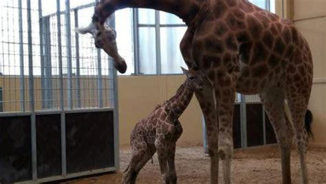 Nace una jirafa amenazada de extinción en el Zoo de Barcelona