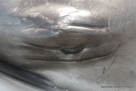 Namibian Dolphin Project: Rescuing a pygmy right whale