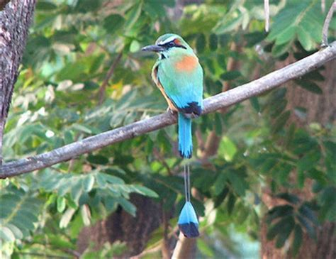 National bird of El Salvador   El Salvador Tips