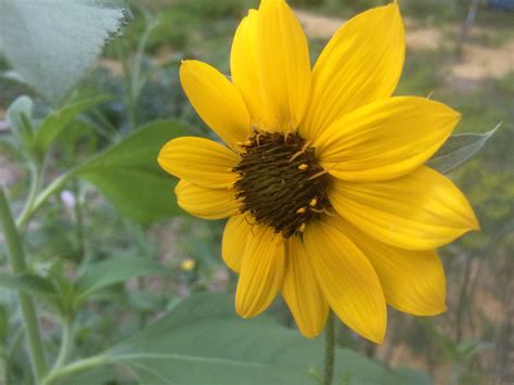 Native Sunflowers | California native plants, Wild ...