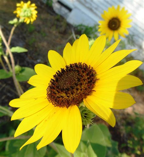 Native sunflowers in my yard, North Texas  With images ...