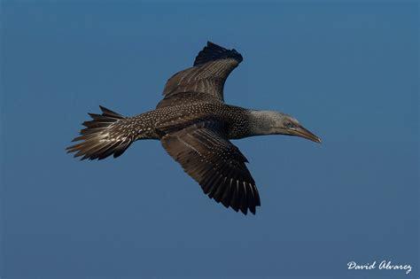 Naturaleza Cantábrica: Fuerte migración de aves marinas en ...
