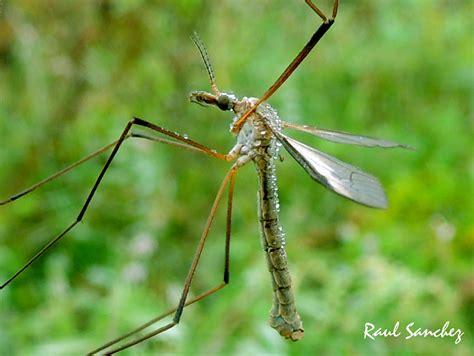 Naturaleza Viva : Mosquito Tipula   o zancudo