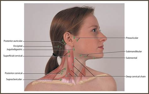 Neck and Head: Regional Lymph at Allen College   StudyBlue