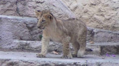 Neix un lleó al Zoo de Barcelona   YouTube