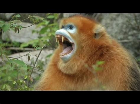 New born golden monkeys in China   no comment   YouTube