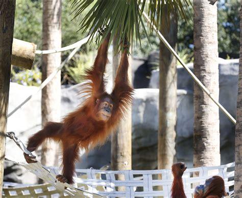 New Orangutan Habitat Debuts at Audubon Zoo in New Orleans
