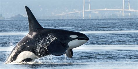 Newborn Orca  Baby Boom  Depends Upon Our Breaching ...