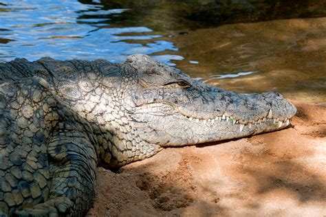 Nile Crocodile, Bioparc Fuengirola, Andalusia, Spain   Flickr