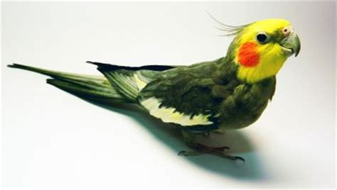 Ninfa   Aves   Mascotas   Hogarmania