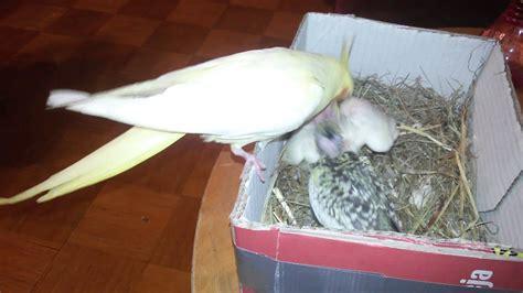 Ninfa dando de comer a pollitos   YouTube