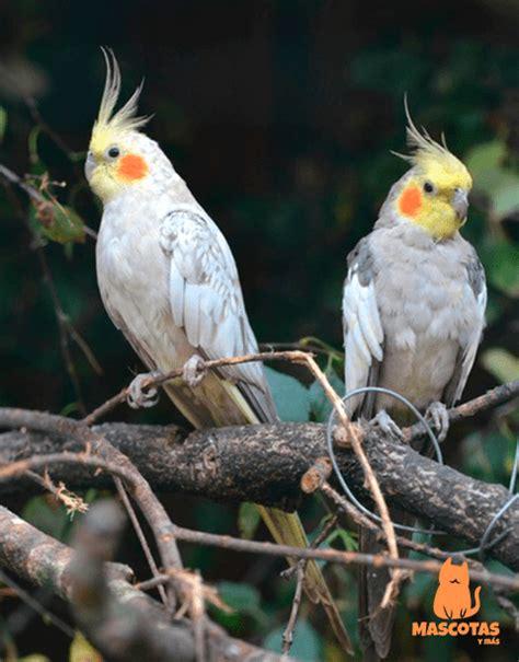 Ninfa hembra y macho | aves exoticas | Ninfas aves, Ninfas ...