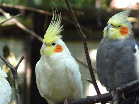 Ninfa   Nymphicus hollandicus   Aves webanimales.com