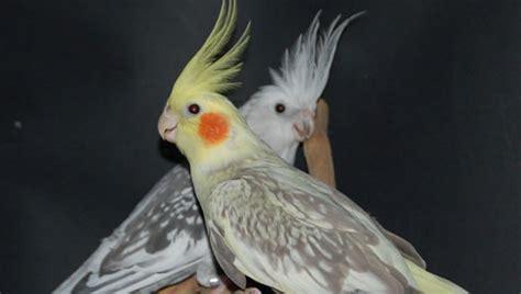 Ninfas Aves   Mascotasyperros.com