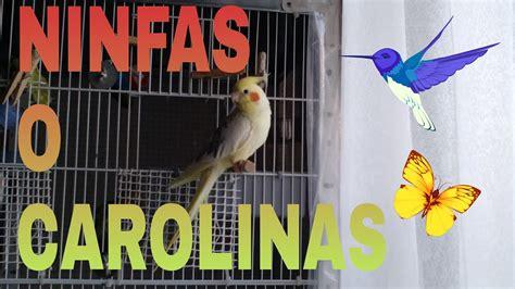 NINFAS O CAROLINAS   YouTube