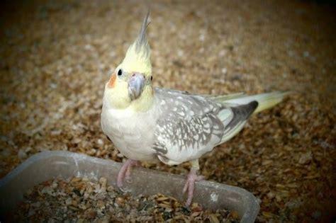 Ninfas: un ave ideal para principiantes   Tiendanimal