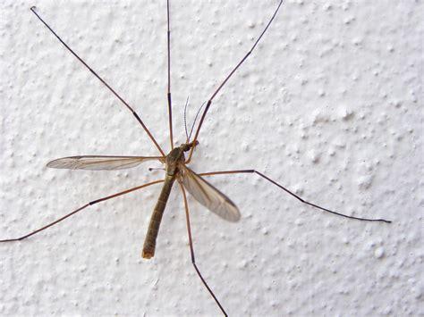 No matéis a los mosquitos grandes!!! Son criaturitas del ...