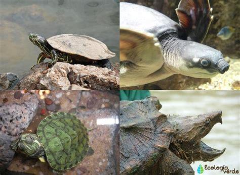 Nombres de especies de tortugas de agua dulce   lista y fotos