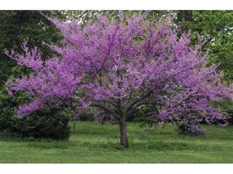 Noninvasive Ornamental Trees  with Pictures  | eHow