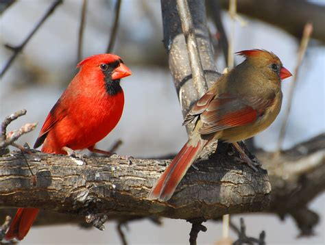 Northern Cardinal pair our state Bird in North Carolina ...