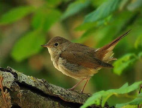 Nuestras aves silvestres de canto | Axarquiaviva