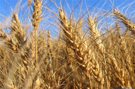 Nuevos cultivos de trigo como alternativa a la dieta sin ...