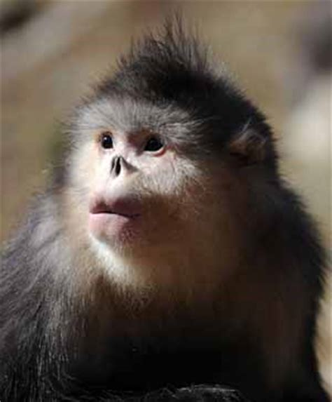 Number of Yunnan golden monkeys increases thanks to ...