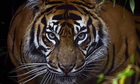 Número de tigres no mundo aumenta pela primeira vez em cem ...
